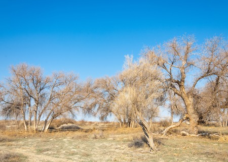 plateau: spring steppe. the nature wakes up after winter. last years grass with trees in the desert Stock Photo