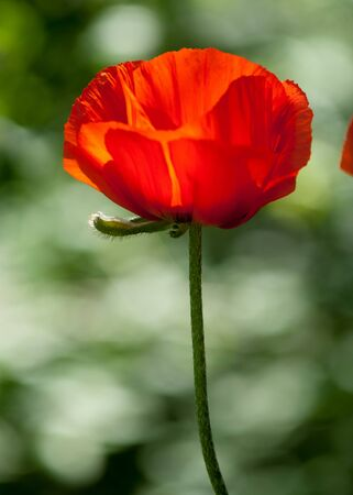commemorate: poppy. a herbaceous plant with showy flowers, milky sap, and rounded seed capsules. drugs such as morphine and codeine
