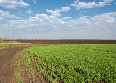 Seedlings of winter on the field. grass on the field. Spring, the winter wheat turning green. agricultural background of a field with green seedling rows. Young winter wheat on the field