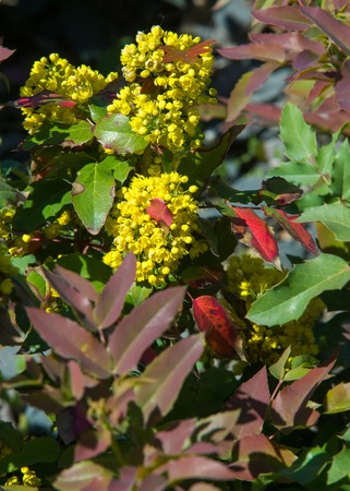 flowers barberry. a thorny shrub that bears yellow flowers and red or blue-black berries.