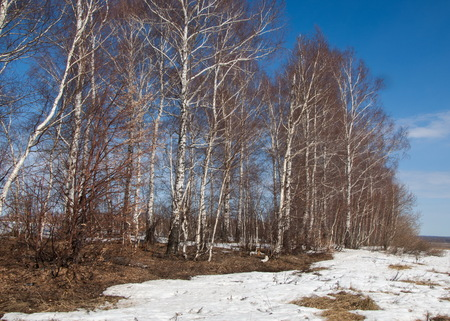 Birch forest in early spring. Early spring forest. the first warm days Stock Photo