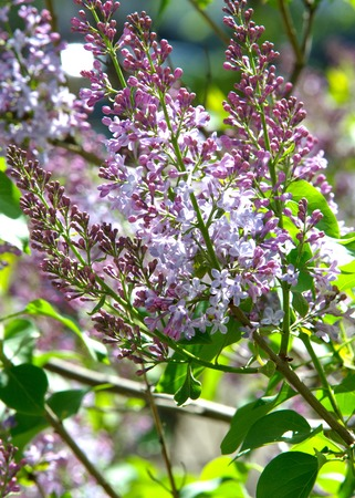 gynoecium: Texture, pattern, background. Lilac flowers. of a pale pinkish-violet color. Large garden shrub with purple or white fragrant flowers.
