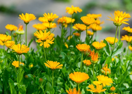 Calendula, or marigold (Calendula), - wonderful orange daisies with a particular aroma, a Mediterranean plant of a genus that includes the common (or pot) marigold. Фото со стока