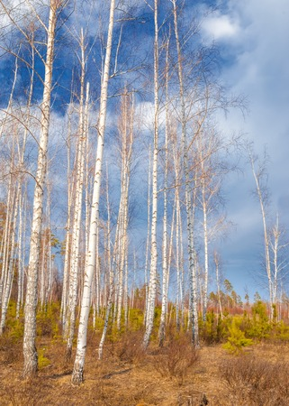Early spring in birch forest.