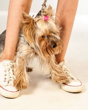 Yorkshire Terrier Mini. Feet teen girl