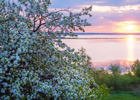 blossoming apple tree on sunset background. spring landscape flowering apple trees on the river bank at sunset. Blossoming apple orchard in spring. Beauty world.