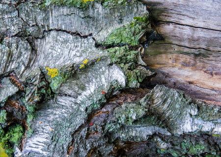 botanics: Texture, pattern, background. birch tree bark old Stock Photo