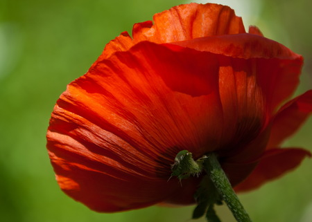 poppy. a herbaceous plant with showy flowers, milky sap, and rounded seed capsules. drugs such as morphine and codeine