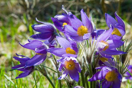 Spring landscape. Flowers growing in the wild. Spring flower Pulsatilla. Common names include pasque flower or pasqueflower, wind flower, prairie crocus, Easter flower, and meadow anemone.