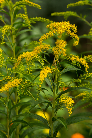 Solidago, commonly called goldenrods, is a genus of species of flowering plants in the family of asters, Asteraceae. Most of them are herbaceous perennial species found in open places