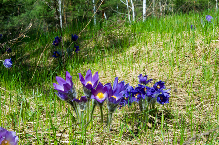 Spring landscape flowers growing in the wild spring flower stock spring landscape flowers growing in the wild spring flower pulsatilla common names include mightylinksfo