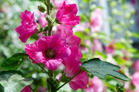 herbaceous: Mallow flowers. a herbaceous plant with hairy stems, pink or purple flowers, and disk-shaped fruit. Several kinds are grown as ornamentals, and some are edible. Stock Photo