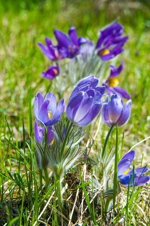 Spring landscape flowers growing in the wild spring flower stock spring landscape flowers growing in the wild spring flower pulsatilla common names include mightylinksfo Images