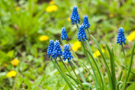 Muscari armeniacum is a bulbous plant of the genus Muscari with basal, simple leaves and short flowering stems. This is one of the number of species and genera known as grape hyacinth Stock Photo