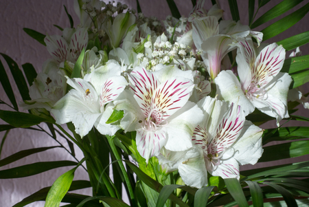 Alstroemeria,commonly called the Peruvian lily or lily of the Incas, is a genus of flowering plants in the family Alstroemeriaceae. Stock Photo