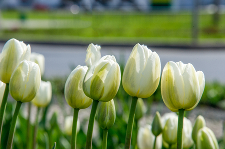 contrast floral: A photo of flowers. Beautiful white tulips flowerbed closeup. Flower background. Summer garden landscape design.