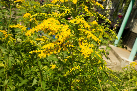 asteraceae: Solidago, commonly called goldenrods, is a genus of species of flowering plants in the family of asters, Asteraceae. Most of them are herbaceous perennial species found in open places