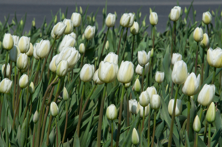 distinct: A photo of flowers. Beautiful white tulips flowerbed closeup. Flower background. Summer garden landscape design.