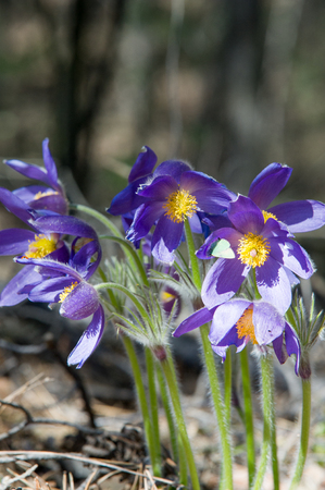 include: Spring landscape. Flowers growing in the wild. Spring flower Pulsatilla. Common names include pasque flower or pasqueflower, wind flower, prairie crocus, Easter flower, and meadow anemone.
