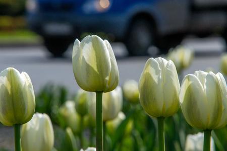 A photo of flowers. Beautiful white tulips flowerbed closeup. Flower background. Summer garden landscape design.