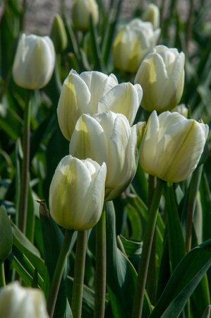 A photo of flowers. Beautiful white tulips flowerbed closeup. Flower background. Summer garden landscape design.