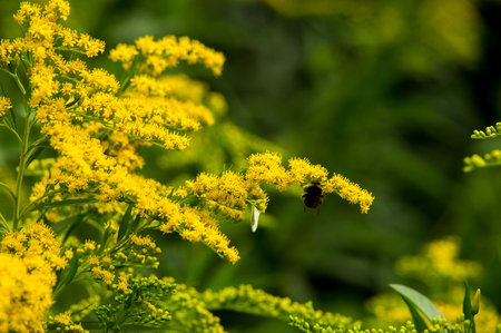 herbaceous: Solidago, commonly called goldenrods, is a genus of species of flowering plants in the family of asters, Asteraceae. Most of them are herbaceous perennial species found in open places