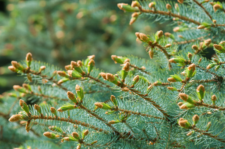 pine needles close up: Paws of blue fir in the spring. New growth of branches of blue spruce and pine needles. Background of natural spruce branches. Photos natural background branch of blue spruce