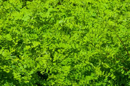 quick hedge: Texture, background, pattern. Hedge. a fence or boundary formed by closely growing bushes or shrubs. Natural green leaf wall, green hedge box