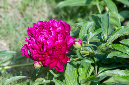 Flowers peonies. a herbaceous or shrubby plant of north temperate regions, which has long been cultivated for its showy flowers. Banco de Imagens