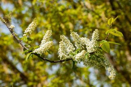 white fabric texture: Spring greeting card, blossom bird cherry. Close-up of a turtle branch, brightly lit against the sky. Flowering bird-cherry tree isolated. bird cherry flowers in sunny day, close-up