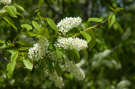 sky brunch: Spring landscape, flowers of bird cherry. flowering bird cherry tree. branch of bird cherry in front of blue sky. Copy space