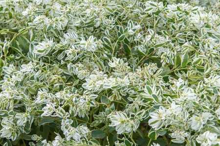 showy: Texture background. Euphorbia marginata commonly known as snow-on-the-mountain, smoke-on-the-prairie, variegated spurge, or white margined spurge is a small annual in the spurge family