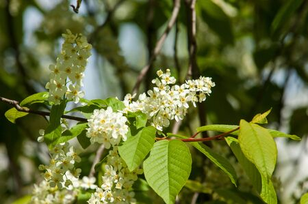 Spring greeting card, blossom bird cherry. Close-up of a turtle branch, brightly lit against the sky. Flowering bird-cherry tree isolated. bird cherry flowers in sunny day, close-up