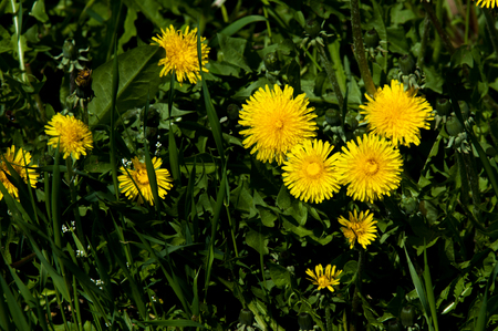 Spring landscape, dandelion flowers bright yellow on the lawn. Detail of bright common dandelions on the meadow in the spring. Used as a medicinal plant and food ingredient Stock Photo