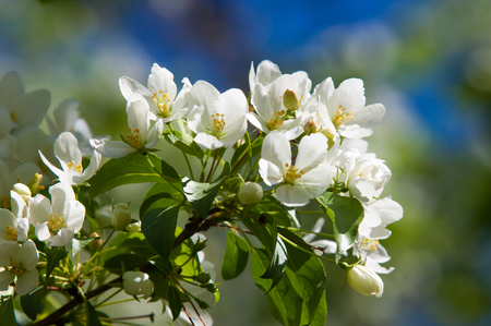 Apple trees flowers. the seed-bearing part of a plant, consisting of reproductive organs (stamens and carpels) that are typically surrounded by a brightly colored corolla (petals) Stock Photo