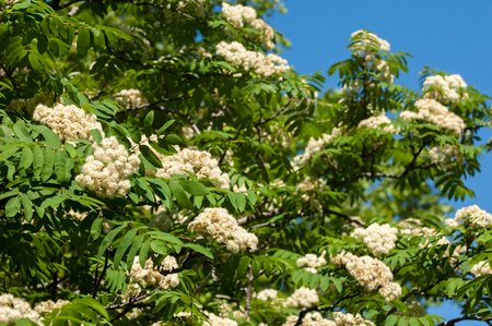 eberesche: Flowers of mountain ash. Flowering of ashberry Sorbus aucuparia L. Foliage and flowers. Rocks An ordinary branch with a large white flower on a mottled green background Lizenzfreie Bilder