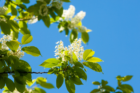 Spring flowers bird cherry a tree with white fragrant flowers 81191961 spring flowers bird cherry a tree with white fragrant flowers collected in a brush and black berries a small wild cherry tree or shrub mightylinksfo