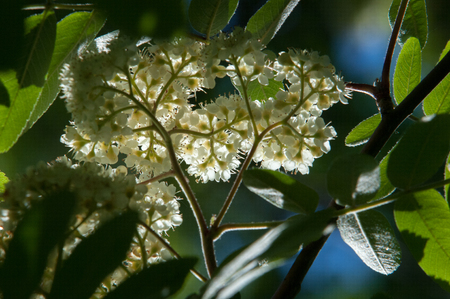 Flowers of mountain ash. Flowering of ashberry Sorbus aucuparia L. Foliage and flowers. Rocks An ordinary branch with a large white flower on a mottled green background Stock Photo
