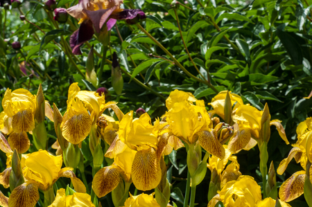 showy: Iris is a genus of about 260-300, species of flowering plants with showy flowers. It takes its name from the Greek word for a rainbow, which is also the name for the Greek goddess of the rainbow Iris.