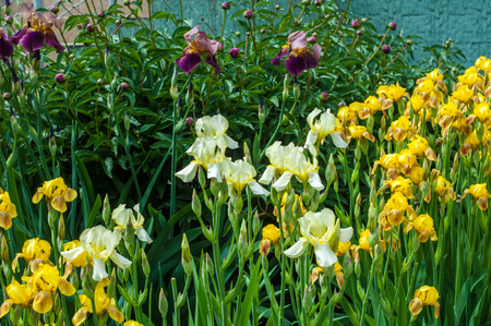 Iris is a genus of about 260-300, species of flowering plants with showy flowers. It takes its name from the Greek word for a rainbow, which is also the name for the Greek goddess of the rainbow Iris.