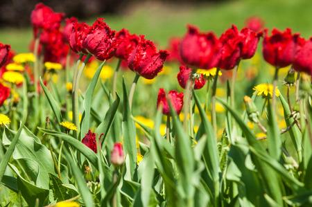 Spring landscape with flowers tulip beautiful bouquet of tulips spring landscape with flowers tulip beautiful bouquet of tulips colorful tulips tulips mightylinksfo
