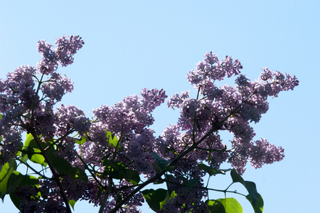 Lilac flowers. Pale lilac flowers of the lilac branches with green leaves with blurred background. Green branch with spring lilac flowers. Branch of lilac flowers with the leaves