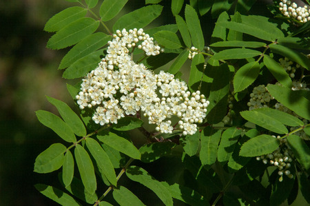 sorb: Sorbus aucuparia - Flowers rowan. lowering rowan in spring time. White flowers of the rowan tree. Spring. Flowering cluster of the wild ash. Stock Photo
