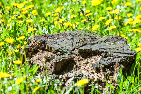 Texture background, pattern, stump in a clearing with dandelion flowers Stock Photo