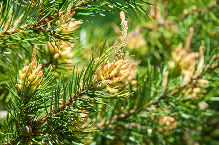 Sprig of pine in the spring. Young green pine branch. Spring forest. Sprig of pine with a new momentum and male inflorescence. pine sprigs of golden sun