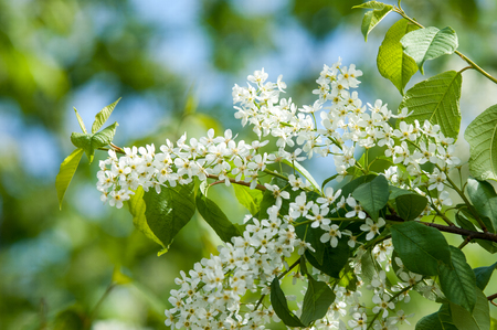 Spring flowers bird cherry a tree with white fragrant flowers spring flowers bird cherry a tree with white fragrant flowers collected in a mightylinksfo