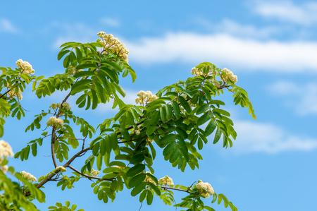 Fiori di ceneri di montagna. Fioritura di Ashberry Sorbus aucuparia L. Fogliame e fiori. Rocce Un ramo ordinario con un grande fiore bianco su uno sfondo verde screziato