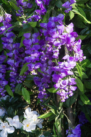 Wisteria, a genus of high-altitude subtropical subtropical plants resembling trees, from a family of legumes with large bunches of fragrant flowers. They are blue, purple, purple and white. Artificial tastes