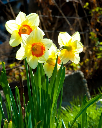 daffodil, daffodilly, daffy. a bulbous plant that typically bears bright yellow flowers with a long trumpet-shaped center (corona).