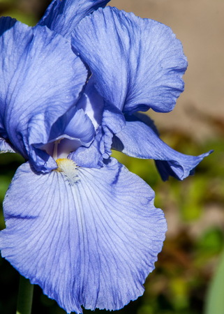 bandera japon: Blue flower irises- nature spring sunny background. Soft focus with bokeh.